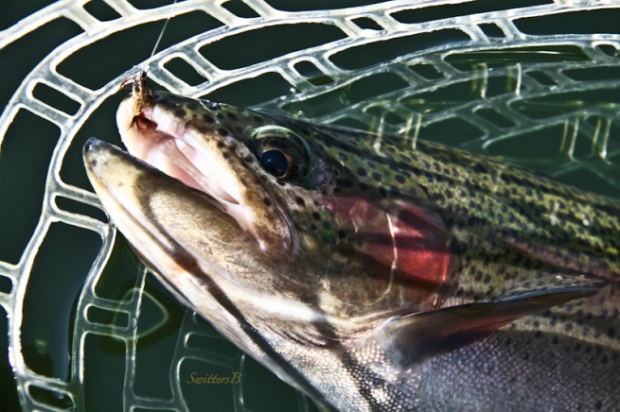Rainbow Trout-fly fishing-net-fly-SwittersB